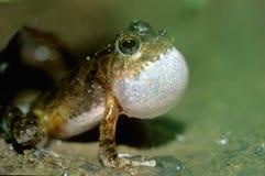 求爱青蛙结构树 库存照片
