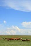 汉堡包牧群 库存照片