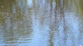 池塘、河或者湖的表面上的小的白杨树绒毛 股票视频