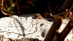 池塘、蜻蜓&蚂蚁在老日志Grandview国家公园, WV 股票录像