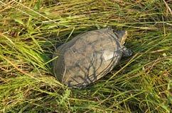 池塘乌龟特写镜头 库存图片