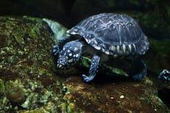黑池塘乌龟(Geoclemys hamiltonii) 免版税库存图片