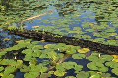 池塘充满lillypads 图库摄影