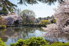 池塘和樱桃开花树在新宿,东京 免版税库存照片