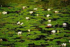 池塘在有白色水百合的村庄 库存图片