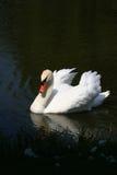 池塘天鹅 库存照片