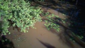 池塘早晨轻的lilly垫 库存图片
