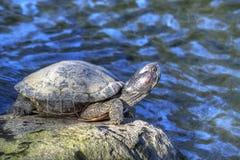 池塘晒日光浴的草龟 库存照片