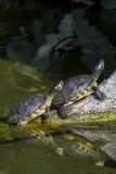 池塘晒日光浴滑子的乌龟 免版税库存图片
