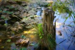 池塘树桩 库存照片