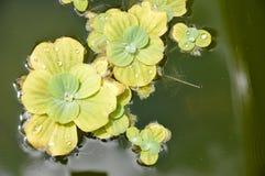 池塘植物 库存图片