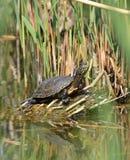 池塘水龟 图库摄影