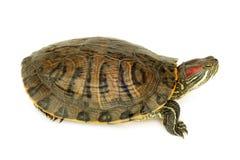 池塘水龟 免版税库存图片