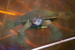 池塘游泳乌龟 免版税库存图片