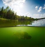 池塘用鲤鱼 库存照片