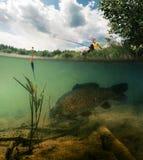池塘用鲤鱼 库存图片