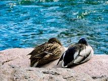 池塘的两只鸭子 库存照片