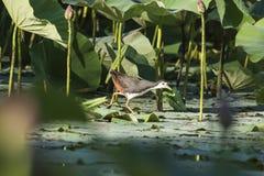 池塘的前面乳房是白色水鸟 库存照片