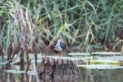 池塘的前面乳房是白色水鸟 库存图片