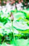 池塘的夏天,莲花甲虫在土地休息 免版税库存照片