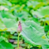 池塘的夏天,莲花甲虫在土地休息 库存图片