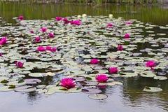 池塘的荷花植物 图库摄影