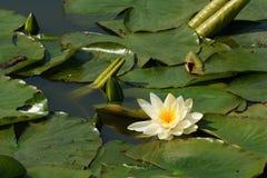 池塘的表面上的白色waterlily花 库存图片