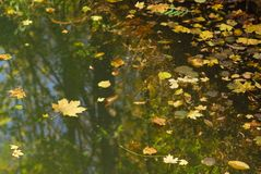 池塘的表面有下落的黄色叶子的,在绿色秋天水中反射树黑暗的树干与光秃的分支的 免版税库存照片