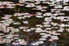 池塘的表面,报道用桃红色百合百合和花圆的绿色叶子在长的词根的在水 免版税库存图片