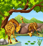 从池塘的长颈鹿饮用水 图库摄影