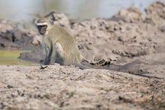 从池塘的黑长尾小猴饮用水有干燥泥的 库存图片