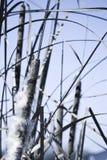池塘芦苇 图库摄影