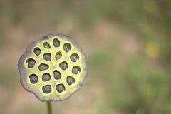 池塘花种子荚 库存照片