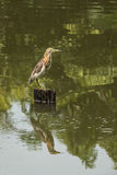 池塘苍鹭 免版税库存照片