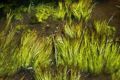 池塘草在流动的河Stort 免版税图库摄影