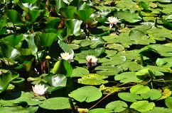 池塘表面上的开花的浪端的白色泡沫百合 免版税图库摄影