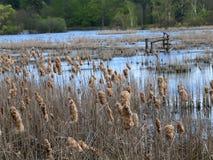 池塘长满的里德 图库摄影
