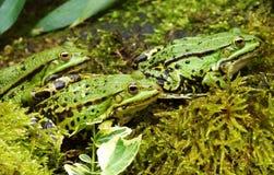 池塘青蛙 免版税库存照片