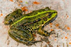 池塘青蛙 免版税图库摄影