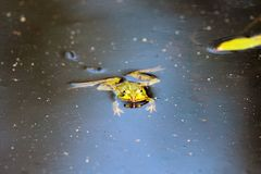 池塘青蛙 图库摄影