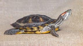 池塘滑子红有耳的乌龟 免版税库存图片
