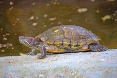 池塘slider.terrapin水龟 免版税库存照片