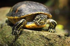 池塘slider.terrapin水龟 免版税库存图片
