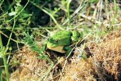 池蛙。 库存图片