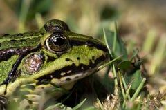 池蛙关闭 免版税库存图片