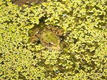 池蛙在与绿色植被的水中 库存照片