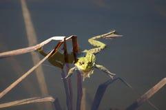 池蛙在池塘。 免版税图库摄影