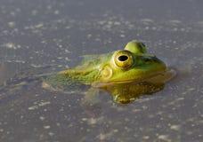 池蛙在自然本底的池塘 库存图片