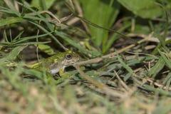 池蛙在草,在他的眼睛的反射关闭 晴朗日的夏天 免版税库存图片
