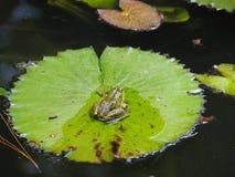 池蛙坐一片大莲花叶子 库存照片
